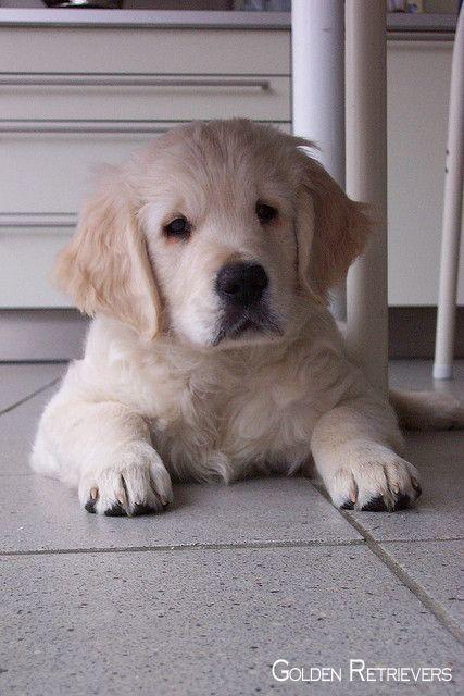 Golden Retrievers Pup Goldenretrieverdog Goldenretrieversofinsta