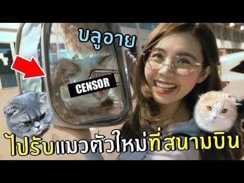 ไปร บแมวต วใหม ท สนามบ น น องบล อาย ราคา70000บาท Youtube ในป 2021 แมว