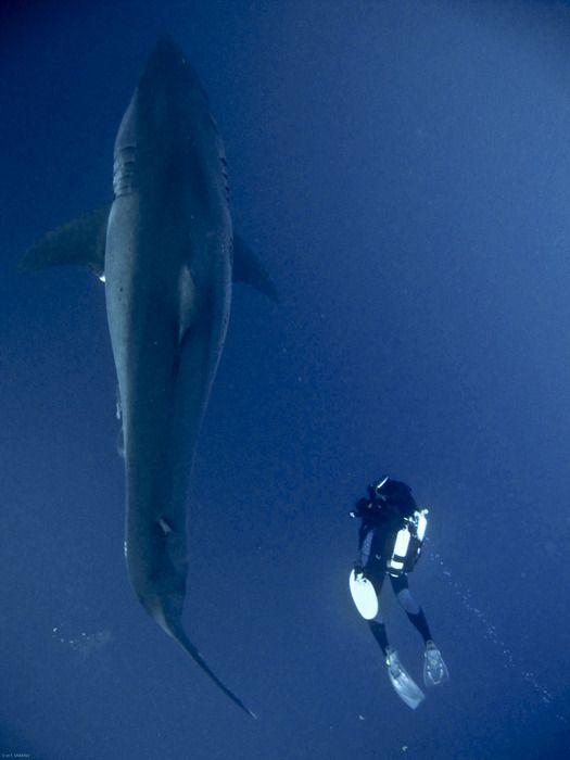"""FRANÇOIS SARANO, PRIMO MICARELLI ET ROBERT CALCAGNO - MERCREDI 12 NOVEMBRE 2014""""Les grands requins blancs de Méditerranée"""" Maison des Océans à Paris"""