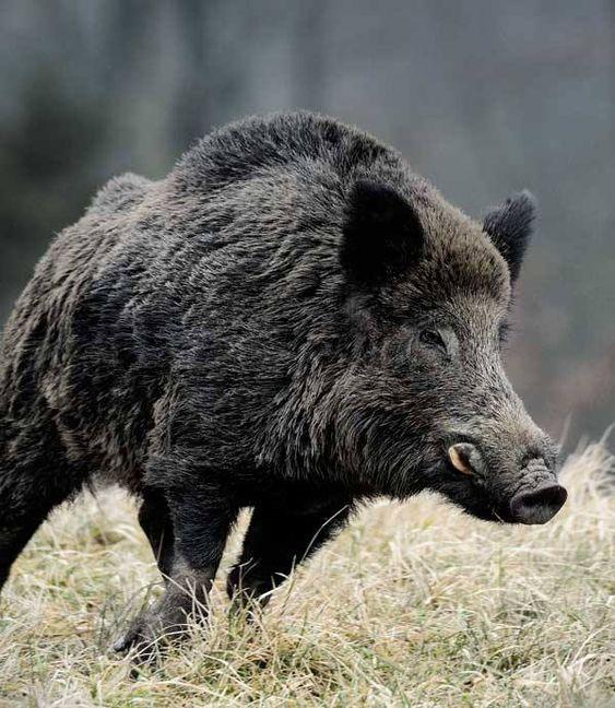 Beautiful ANIMALS BOAR PAINTINGS Szukaj w Google ANIMALS BOAR Pinterest Animal