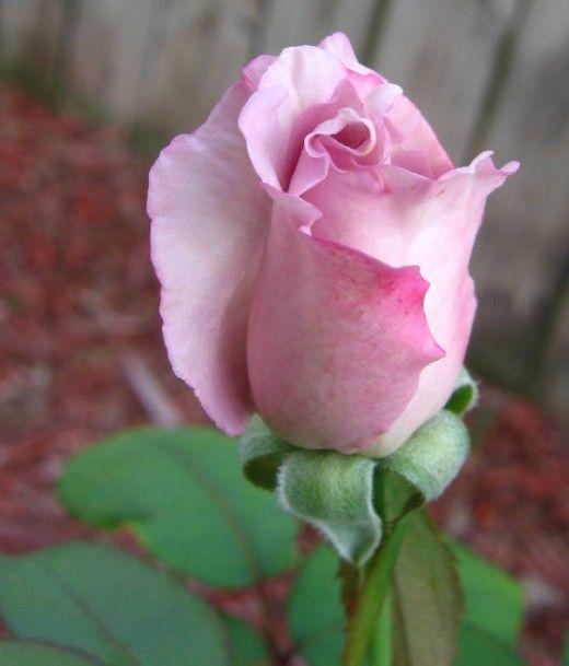 صور ورد و صور زهور من أجمل و أندر الورود من جميع أنحاء العالم مع خلفيات Hd بفبوف Rose Pictures Rose Flower Wallpaper Beautiful Roses