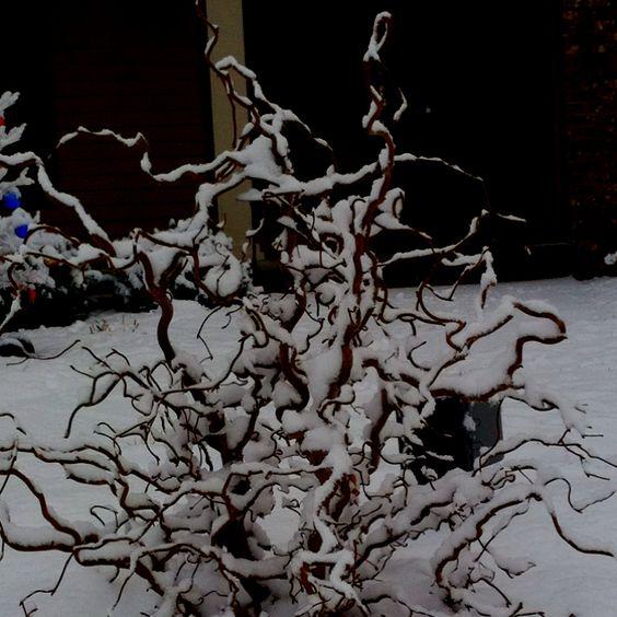 Walking stick bush, first snow.
