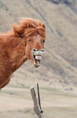 Horse Funny Laugh