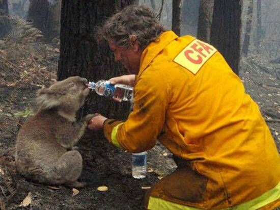 Firefighter giving water to a thirsty koala after a forest fire.