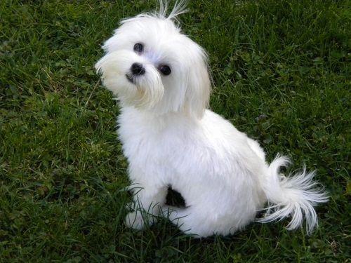 Maltese Best Dog Breeds For Seniors Maltese Dogs Maltese