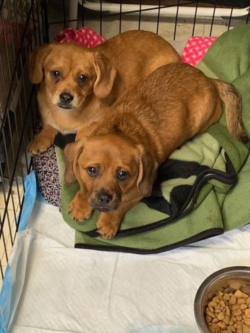 Pekinese Dachshund Pups Adoptable Dog Puppy Male Dachshund Pekingese Mix Teddy Bear Puppies Dog Adoption Usa Dog