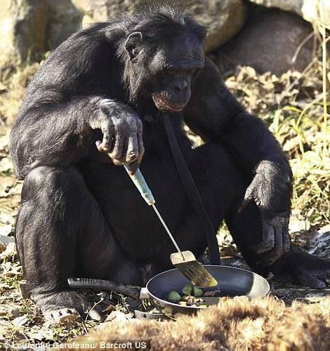 There is a 31 year old Chimpanzee named Kanzi that knows how to start fires and cook!