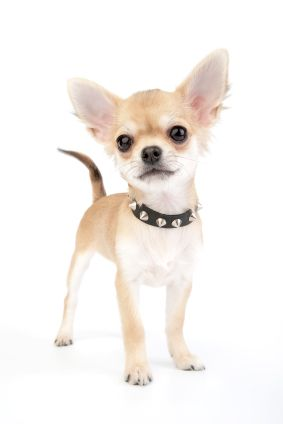 Safe Toys For Small Dogs: Aye Chihuahua, Dog Collars, Small Dogs, Dog He S, Ay Chihuahua, Lil Dogs, Chihuahua S, Little Dogs