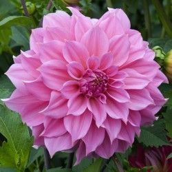 """Dahlia Jersey Beauty -  Lively, true-pink, classic dahlia flowers. 4-6"""" blooms"""