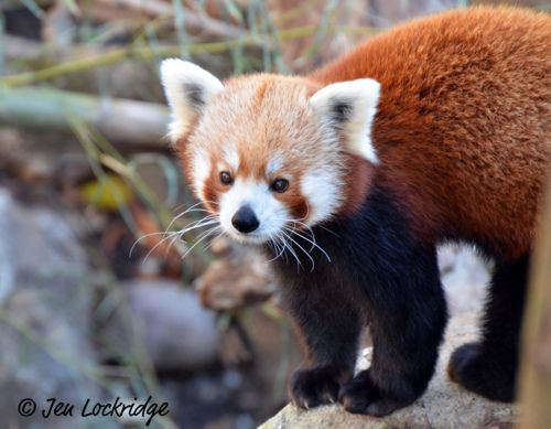 Black footed red panda ferret