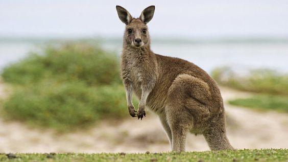 klokan australský