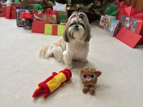 Cute Shih Tzu Dog Lacey Opening Christmas Presents New Toys Youtube Shih Tzu Dog Shih Tzu Dogs