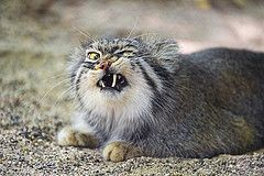 Pallas cat looking angry | Flickr - Photo Sharing!
