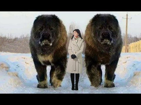 самая большая овчарка в мире
