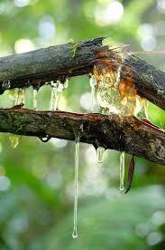 Image result for tree sap