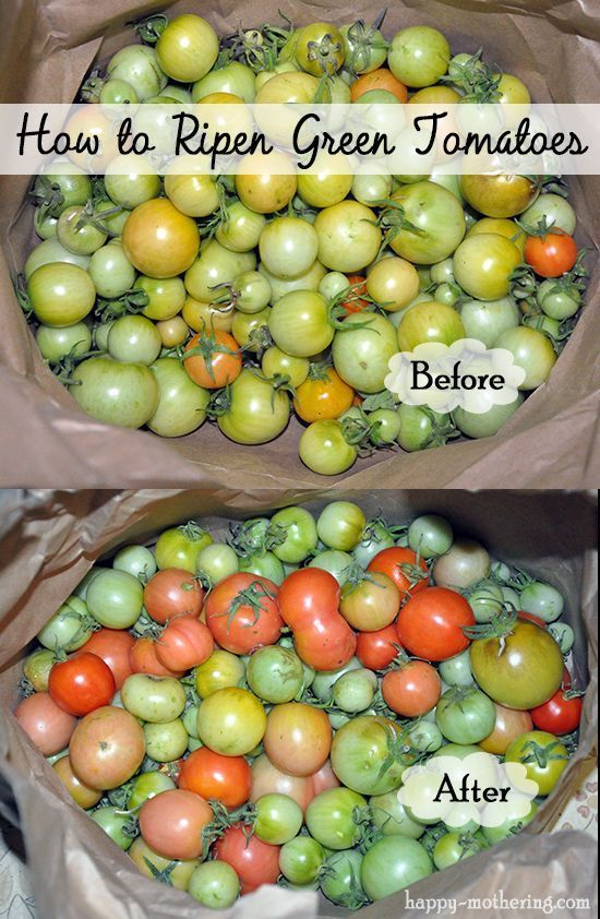 Problems In Growing Tomatoes How To Ripen Green Tomatoes Pin201share33tweet3237 Sharesit Seems Winter I Ripen Green Tomatoes Growing Tomatoes Tomato Problems