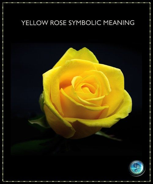 Yellow Rose Spirituality Meaning Thrive On News Spiritual Magazine In 2020 Yellow Rose Meaning Yellow Roses Rose Wallpaper