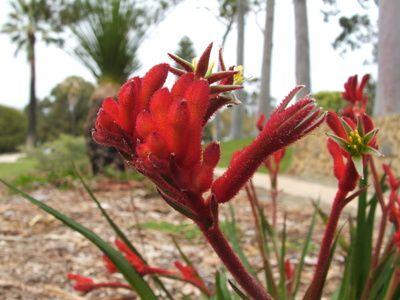 Cómo cultivar la planta pata de canguro (Anigozantho) | eHow en Español