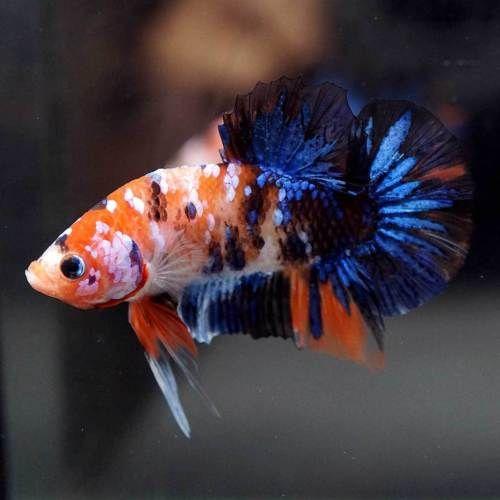 Pin On Beautiful Betta Fish