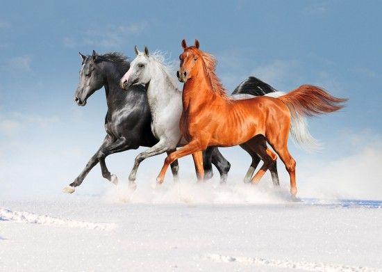 3 Arabian Horses in Winter