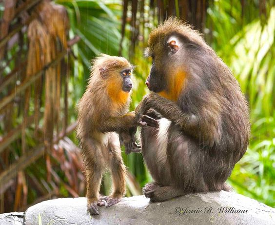 "BIRDS & DAFFODILS: ""MANDRILL SEEKING MOM"" ~ JESSIE WILLIAMS WILDLIFE PHOTOGRAPHER http://birdsanddaffodilsbylyndabergman.blogspot.com/2016/10/mandrill-seeking-mom-jessie-williams.html:"