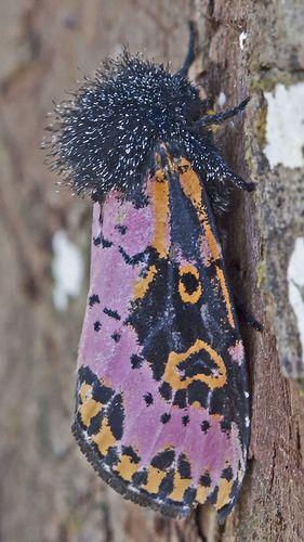 Spanish Moth - Xanthopastis timais <3 ▓█▓▒░▒▓█▓▒░▒▓█▓▒░▒▓█▓ Gᴀʙʏ﹣Fᴇ́ᴇʀɪᴇ ﹕ Bɪᴊᴏᴜx ᴀ̀ ᴛʜᴇ̀ᴍᴇs ☞  http://www.alittlemarket.com/boutique/gaby_feerie-132444.html ▓█▓▒░▒▓█▓▒░▒▓█▓▒░▒▓█▓