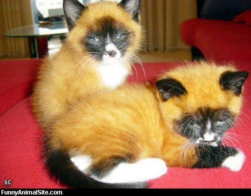 fox face cats.--I want one :))