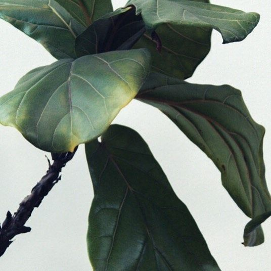 Yellow Leaves On A Fiddle Leaf Fig Plant Have Three Probable Causes The Most Likely Is Lack Of Sunlight Followed By Poor In 2020 Fig Plant Plant Leaves Yellow Leaves
