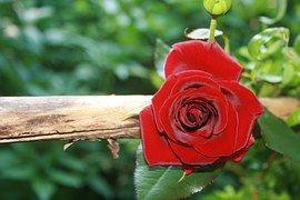 Rose, Rot, Blume, Blüte, Liebe, Blühen