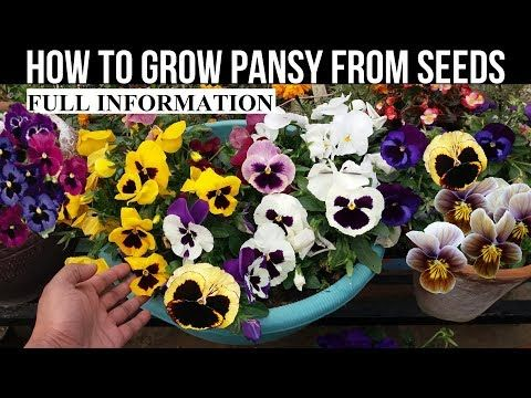 How To Grow Pansy From Seed With Full Updates Youtube Pansies Seeds Growing