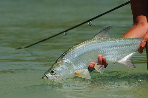 Arguably the most fun you can have on a fly rod - maybe the most fun you can have legally - baby tarpon.  What a blast!