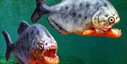 معلومات عن سمكة البيرانا اكلة لحوم البشر صور سمكة البيرانا Fish Pet Pets Animals