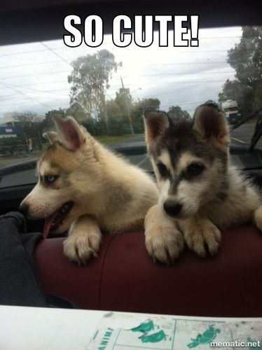 So cute huskies!