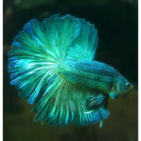 Blue halfmoon betta fish - photo#28