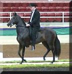 Paradise Paso Fino Horses Mares and Fillies For Sale for Trail and Show