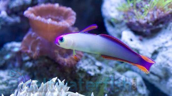 Purple Firefish Goby Saltwater Fish Gobies Saltwater Aquarium Fish Purple Fish