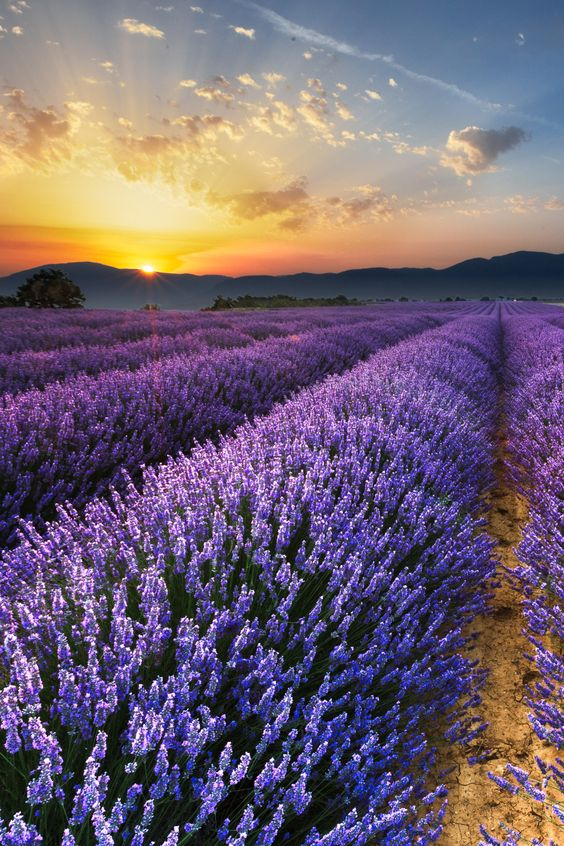 lsleofskye:  Sunrise on the Lavender Fields in Valensole in Provence