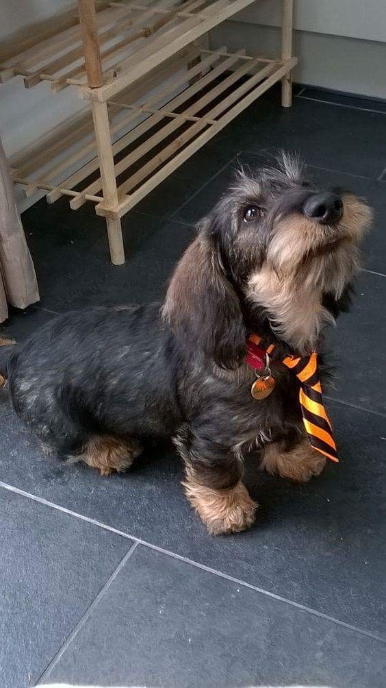 Love A Guy In A Tie With A Full Beard Dachshund Wire Haired Dachshund Dog Training Puppy Training