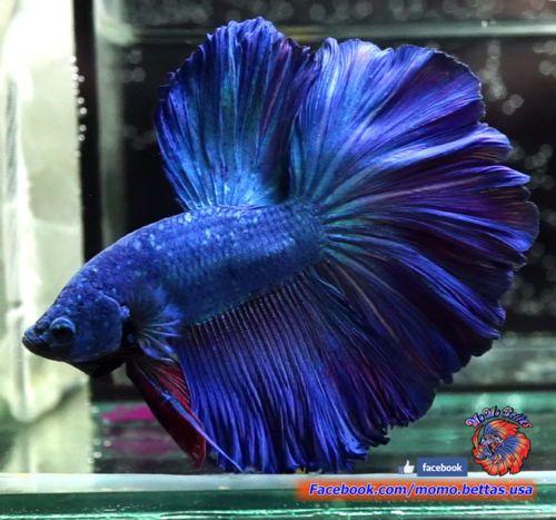 Live Betta Fish Male Blue Purple Rosetail Halfmoon Hm 1211 Betta Betta Fish Fish