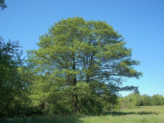 Aliso, un árbol rústico para protegerse del sol - http://www.jardineriaon.com/aliso-arbol-rustico-protegerse-del-sol.html #plantas