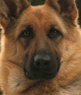 Beautiful German Shepard, love that face. So Protecting.:
