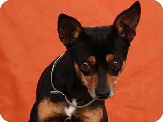 Downey, CA - Chihuahua Mix. Meet HARLEY a Dog for Adoption.