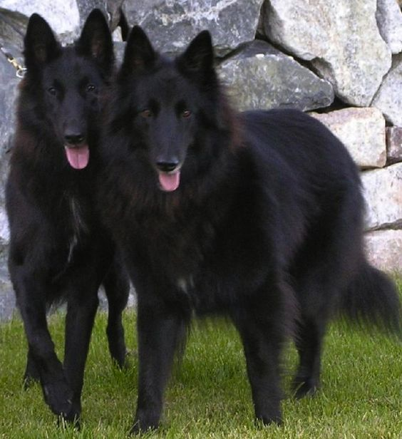 Belgian Shepherd Named After And Dracula On Pinterest