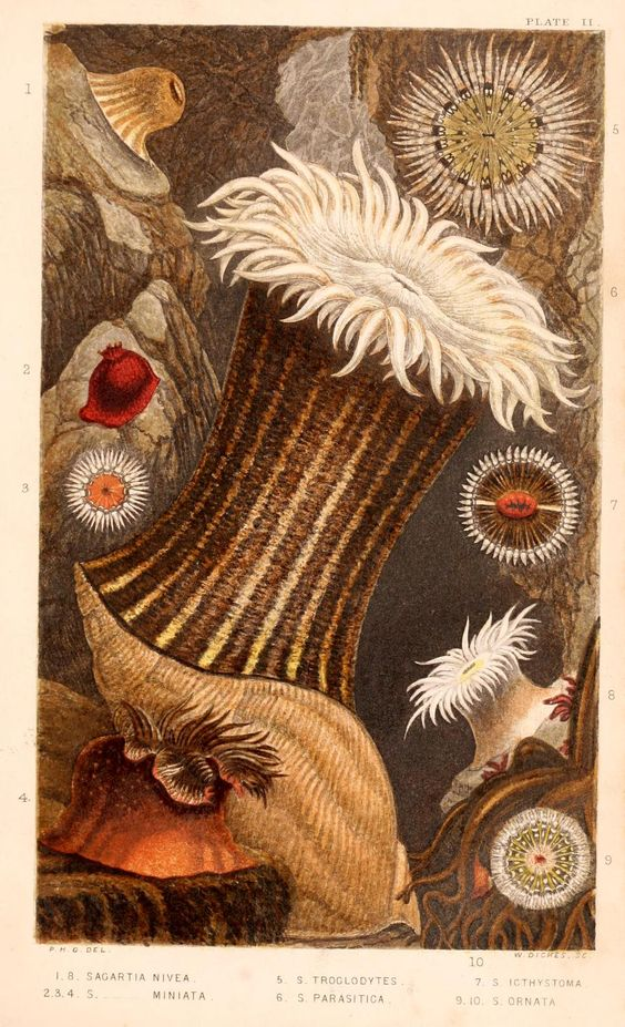 Actinologia britannica : a history of the British sea-anemones and corals / - Biodiversity Heritage Library