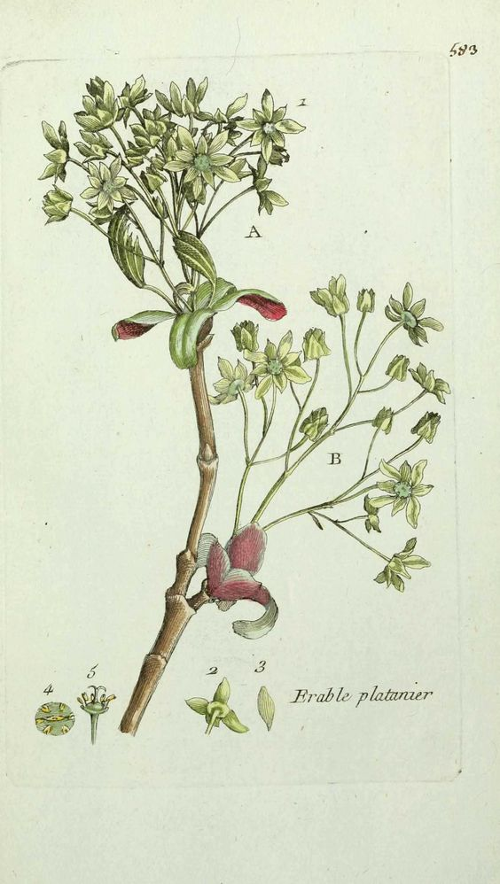 flore de paris : erable plane - acer platanoides ( faux sycomore ).jpg