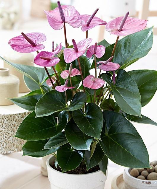 100pcs Bonsai Anthurium Andraeanum Linden Araceae Perennial Indoor Evergreen Plants Herb Flower For Home Garden In 2020 Anthurium Plant Anthurium Flower Indoor Flowering Plants