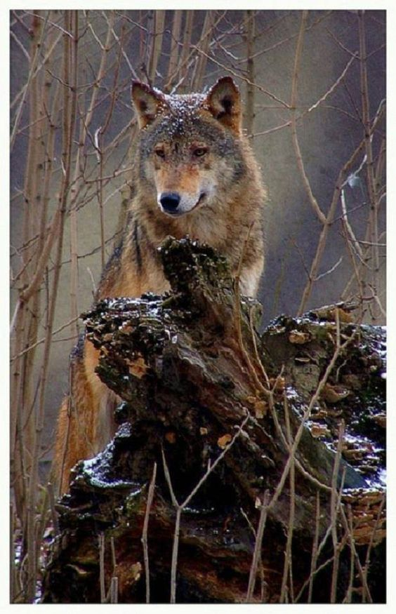 Gray Wolf--All About Wolves Photo