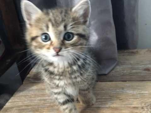 Beautiful Kittens For Sale Swindon Wiltshire Pets4homes Beautiful Kittens Kitten For Sale Cat Breeder