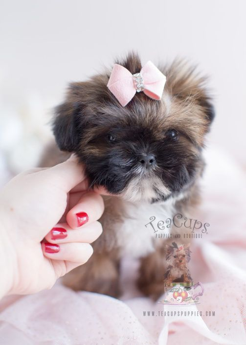 Little Shih Tzu Puppy For Sale 038 Teacup Puppies Shih Tzu Puppy