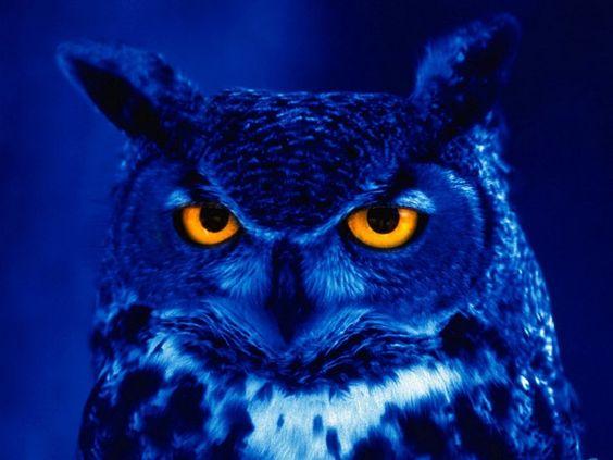 hibou bleu Wallpaper